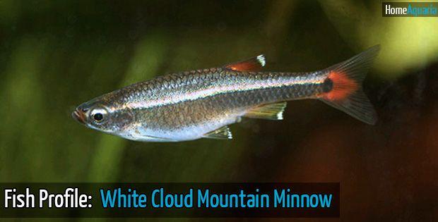 Fish Profile: White Cloud Fish | Home Aquaria