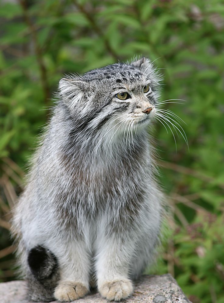 Pallas' cat (also known Manul) - The small, solitary wild cat inhabits uplands, hilly areas, steppes with rocky outcrops as well as semidesert areas throughout Asia and the Middle East. It resides on the cold grasslands of Mongolia and Inner Mongolia too. Pallas roams up to elevations of 4,000m but never regions of deep snow accumulation. Inclined toward aggressive natures. As kittens, they will growl before they can open their eyes. Status: Near Threatened  (Photographer Jodea)