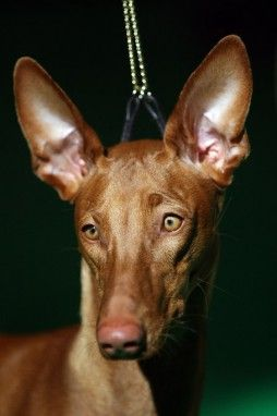 Ears like a desert fox.  An Egyptian Pharaoh Hound can cost  $2100 to $2800   As one of the oldest domestic breeds, the Pharaoh Hound probably originated in ancient Egypt around 4000 to 3000 BC, hence the name.