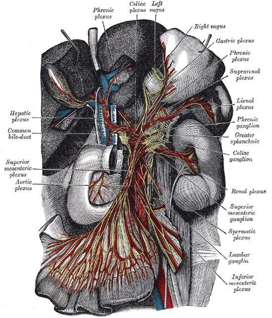 The celiac plexus or coeliac plexus, also known as the solar plexus because of its radiating nerve fibers,[1] is a complex network of nerves (a plexus) located in the abdomen, where the celiac trunk, superior mesenteric artery, and renal arteries branch from the abdominal aorta. It is behind the stomach and the omental bursa, and in front of the crura of the diaphragm, on the level of the first lumbar vertebra.