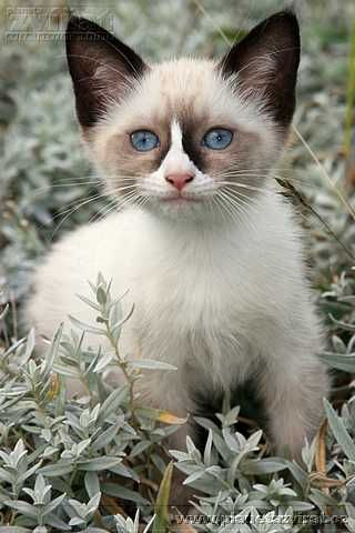 The baby Snowshoe. They are born white and grow into their markings. The most loving cats! Is that what Grumpy cat is?