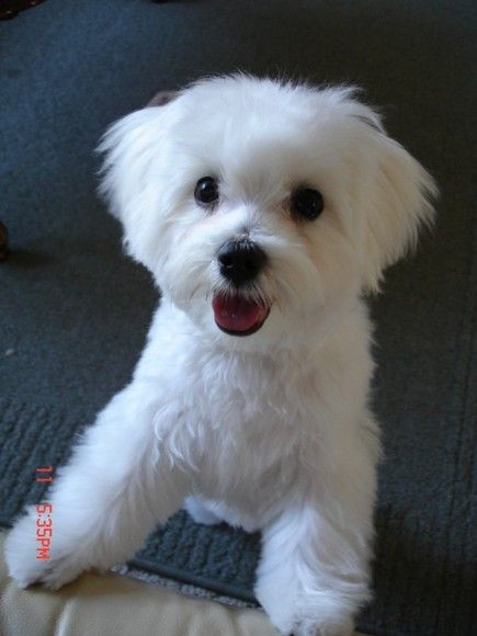 maltese dogs haircuts 11 best images about lola on 5725