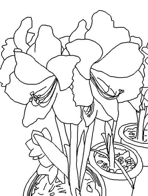 Coloring Page World Picotee Amaryllis