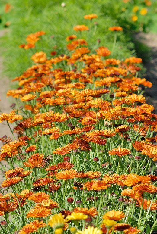 Lindbloms frö - Calendula officinalis, Ringblomma dubbel Touch Red & Yellow ekologiskt frö (250 frön) 25kr