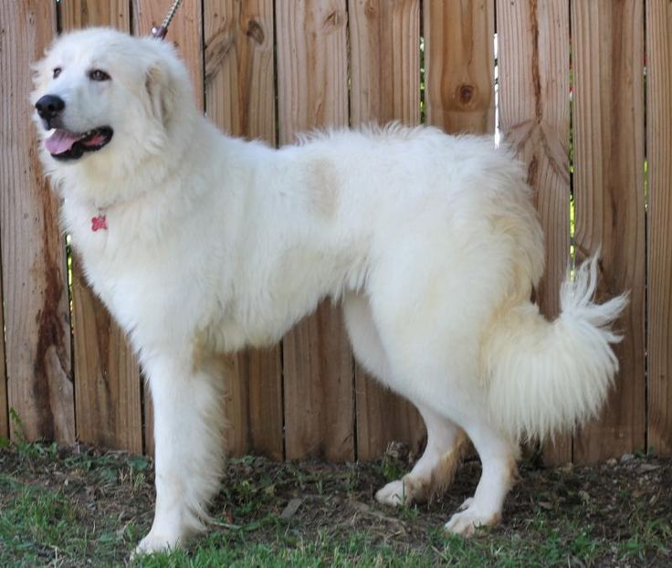 Tessa is an adoptable 4yr. old female Great Pyrenees searching for a forever family near Bent Mountain, VA. Tessa was used as a breeder at a puppy mill in Missouri. She will need a person experienced with this breed & will help her adjust to a normal dog life. Tessa is available at Big Fluffy Dog Rescue, Bent Mountain,VA.