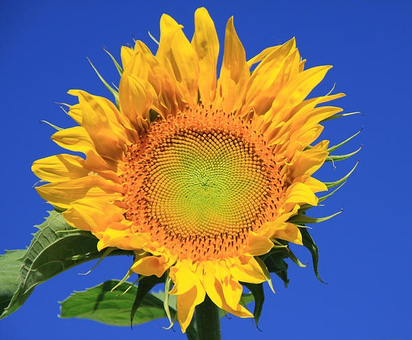 .: Happy Sunflowers, Photographers, Happy Faces, Favorite Photo, Sunflowers Photography, Amazing Photo, Daisies, Sunflower Photography