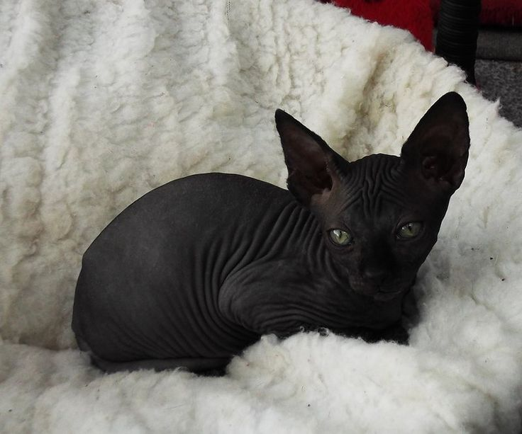Sphinxes Cats For Sale