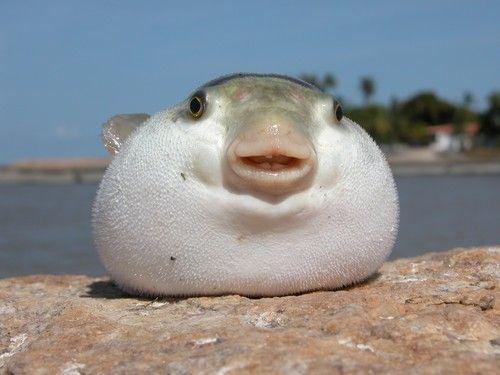 1000 images about blop fish on pinterest cats biology for Acheter poisson rouge en gros