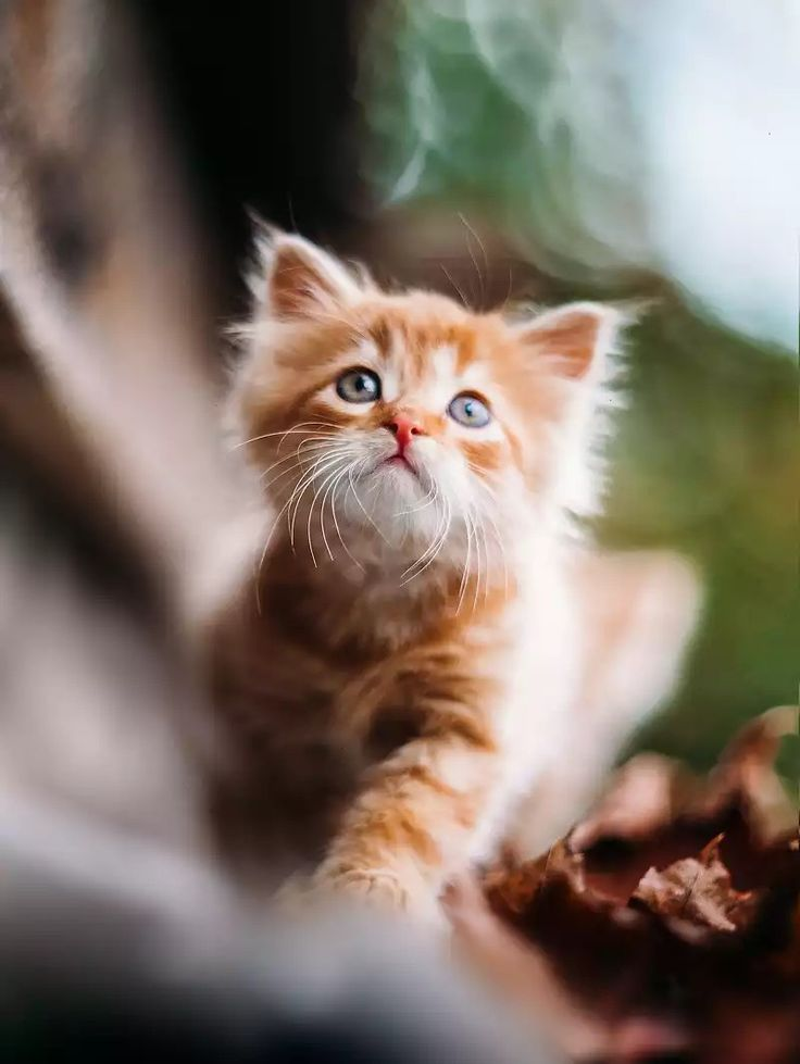 Рыжик Red-haired kitten