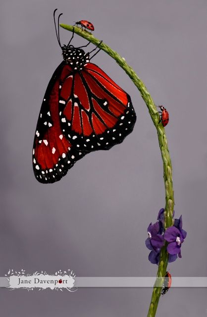 And above all, watch with glittering eyes the whole world around you because the greatest secrets are always hidden in the most unlikely places. Those who don't believe in magic will never find it. ~ Roald Dahl Monarch Butterfly and friends :)