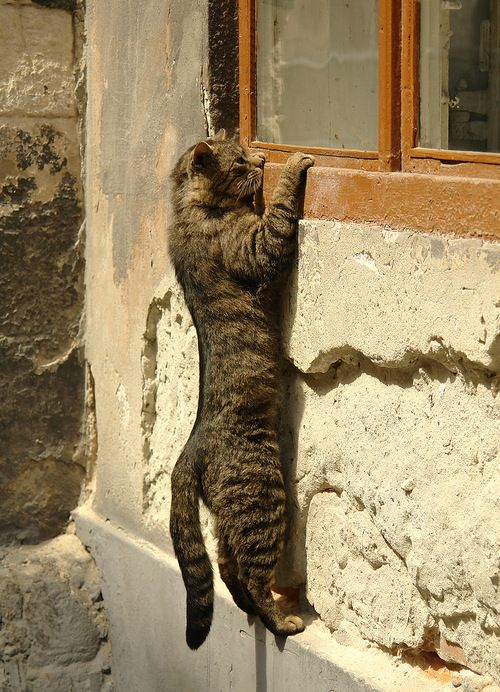 Peeping Tom (cat)