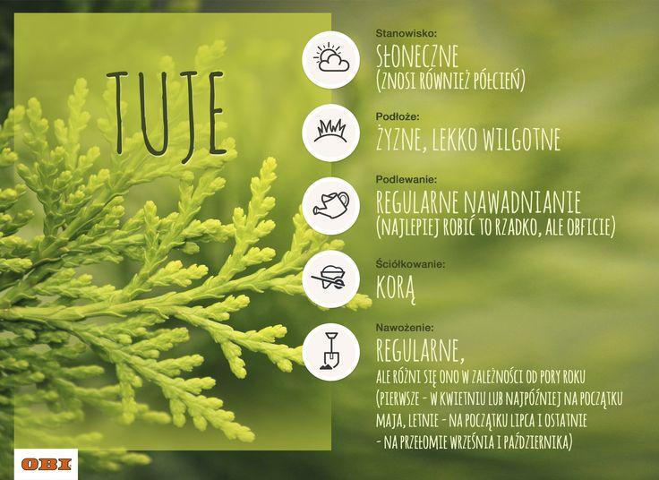 Infografika, która podpowie Wam, jak dbać o tuję. #garden #gardening #ogród #ogrodnictwo #thuja #tuja