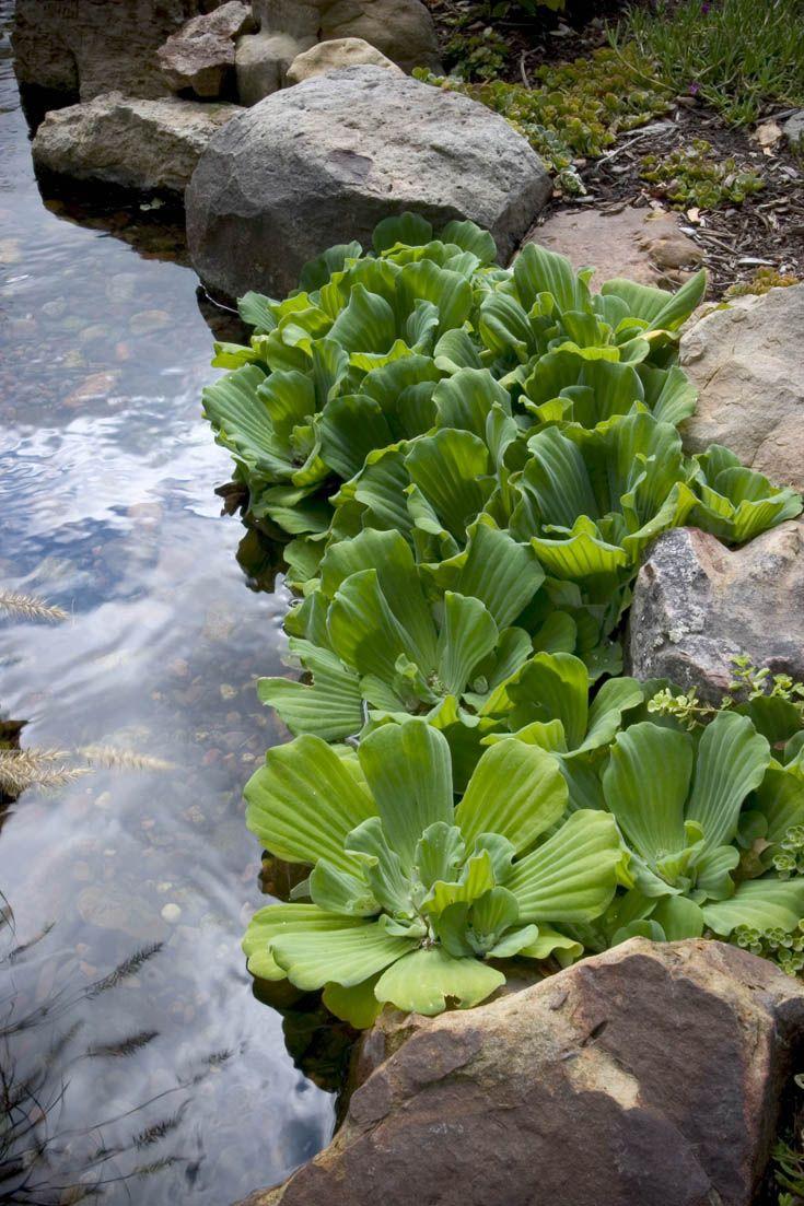 10 Popular Pond Plants - Water Lettuce