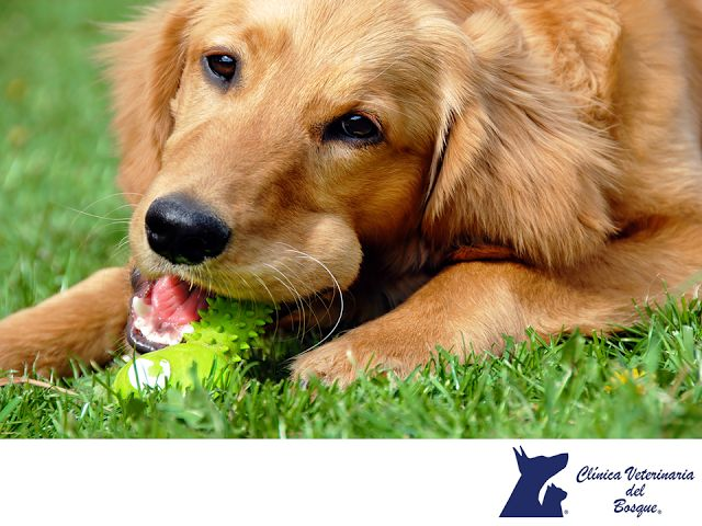 CLÍNICA VETERINARIA DEL BOSQUE. ¿Tu perro tiene alergia? Si tu mascota presenta síntomas de comezón y enrojecimiento en la piel, es importante que acudas al veterinario para hacer el diagnóstico de alergia, al piquete de la pulga, a pólenes, alimentos, etc. En primavera, al igual que las personas, los problemas de alergia cada vez son más frecuentes en perros. 1 de cada 7 perros es alérgico y es la causa del 70% de las enfermedades de piel. #cuidadodemascotas
