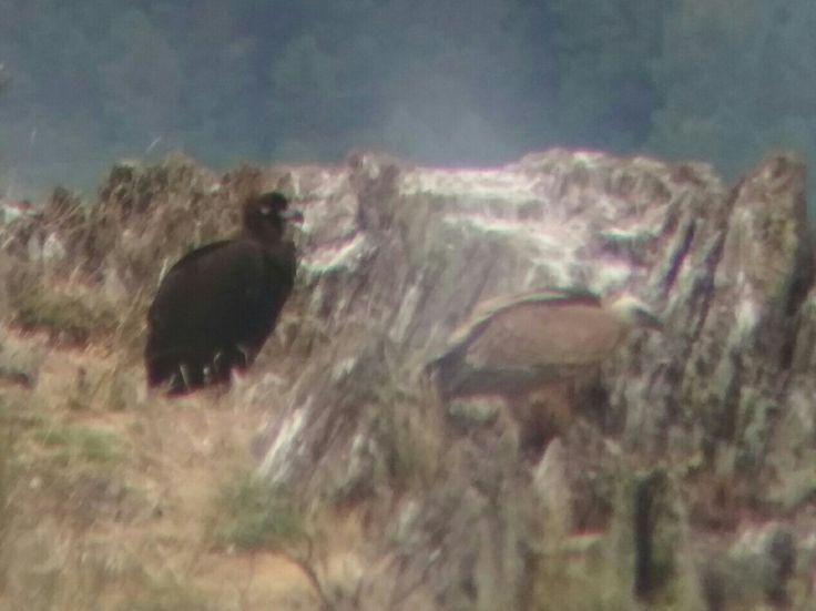 Buitre negro y leonado
