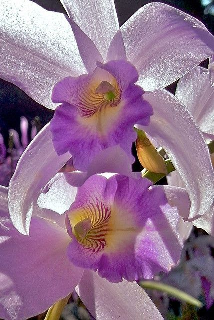 This photo captures the beautiful translucent shimmer orchids have in their petals.  Beautiful!