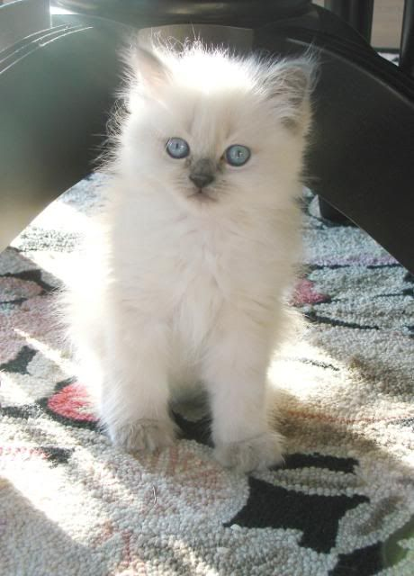 himalayan kitten---seal point  sweet daisy!