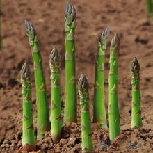 20Pcs Asparagus Seeds Organic Heirloom Rare Green Vegetable Perennial Garden Bamboo 1OSC(China (Mainland))