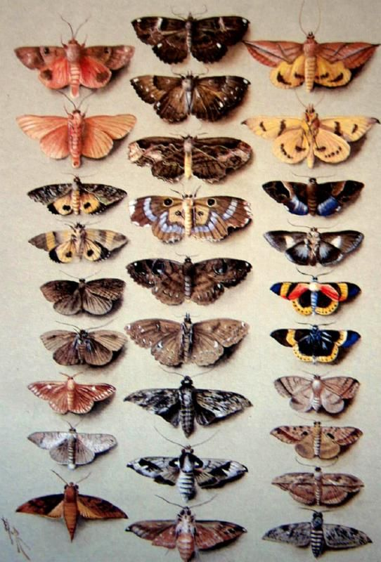 twenty-nine hawk moths by marion ellis rowan (1910)
