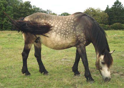 North Swedish Horse - mare Anja