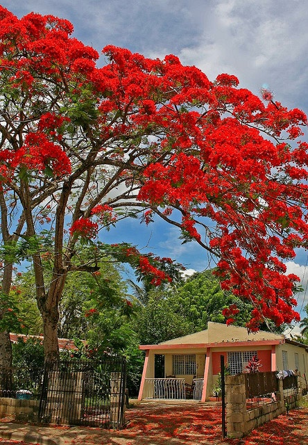 Red Jacaranda tree? Rare indeed, via Flickr