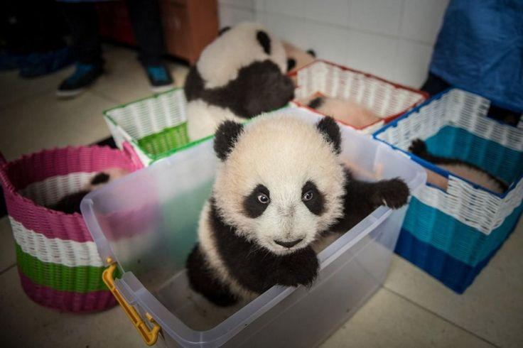 Питомник панд в провинции Сычюань