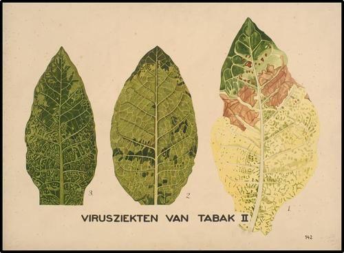UG-514 | Virusziekten van tabak