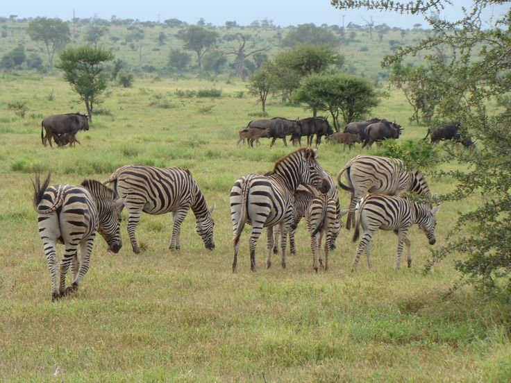 Zebras and wildebeest are often seen dining together
