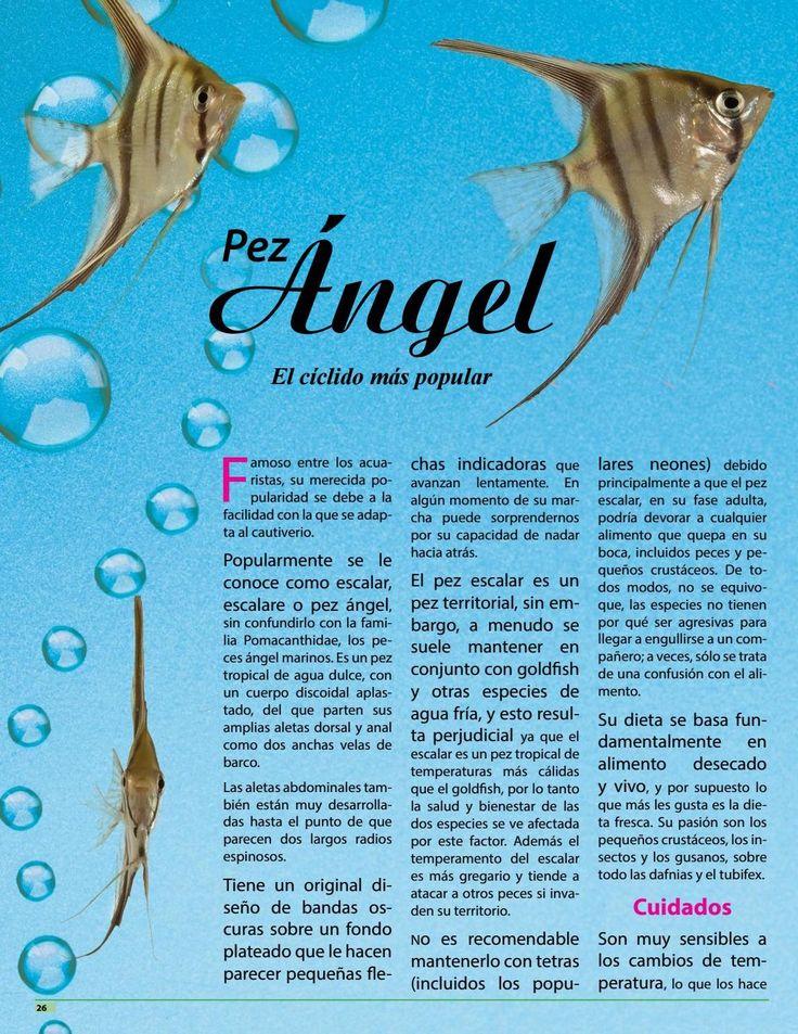 El Pez Ángel también conocido como Escalar es entre los cíclidos el más popular. Lee más sobre la especie en https://issuu.com/mascotasrevista/docs/mrjunio2016/c/sm0ntbk