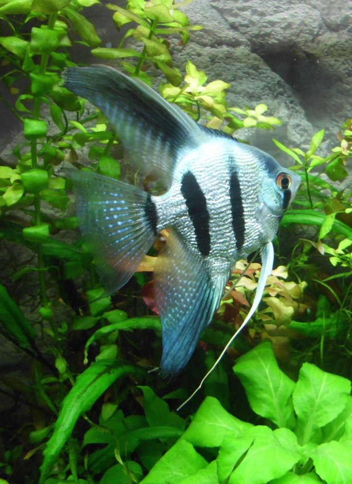 252 best images about angelfish on pinterest cichlids for Best community fish