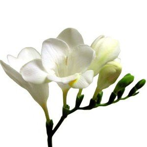 White Freesia Flower  Fresh Bulk White Freesia flowers are harvested and shipped fresh from the farm to your doorstep. The meaning of Freesia is sweetness, innocence and trust. Freesia will accent any wedding bouquet, table centerpiece or flower arrangement perfectly and add a fragrant touch. Our Freesia is known for its premium quality and long-lasting vase life.