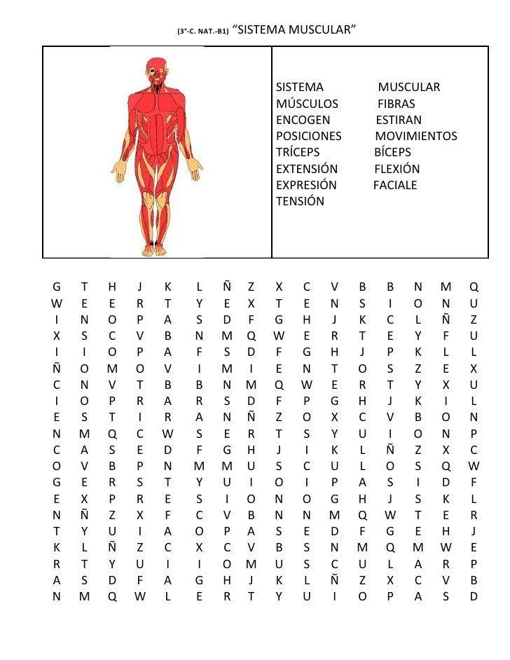 sopa de letras del sistema muscular - Buscar con Google