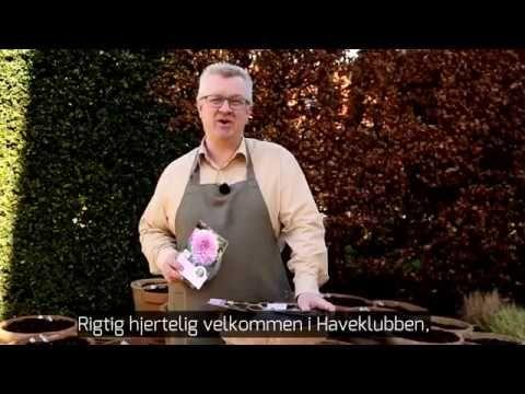 De dejlige dahliaer - Claus Dalby - mit haveliv