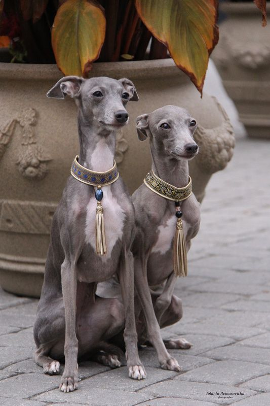 Fabulous collars! Italian Greyhounds are so beautiful and elegant. In front of an old urn, stone underfoot. I'm pretending they live in Rome!