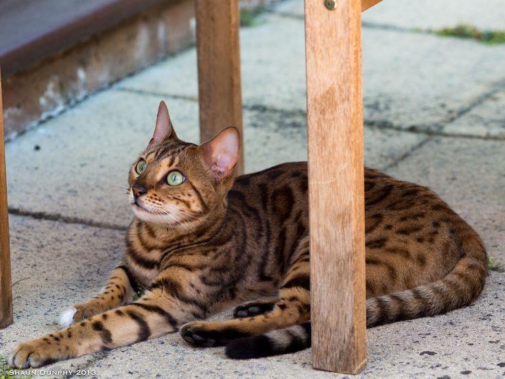 Assez The 25+ best Bengal cat cost ideas on Pinterest | Bengal, Kitten  DE95