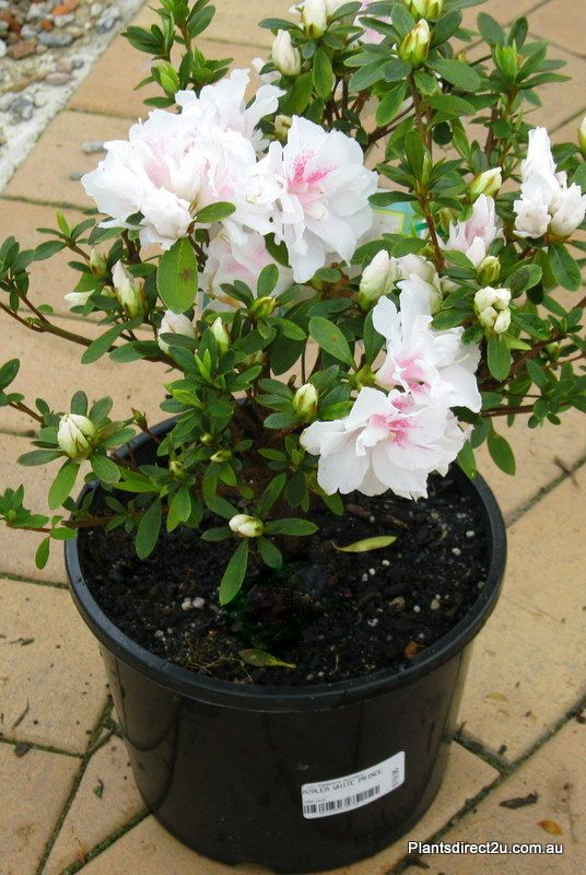 Azalea 'White Prince' 200mm and larger