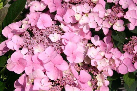 Tellerhortensie 'Mariesii Perfecta' - Hydrangea macrophylla 'Mariesii Perfecta'