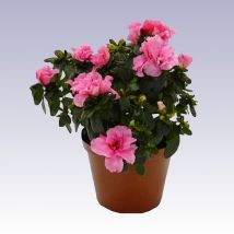 Azálea rózsaszín, Azalea japonica (Rhododendron simsii) 20 cm magas 12cs