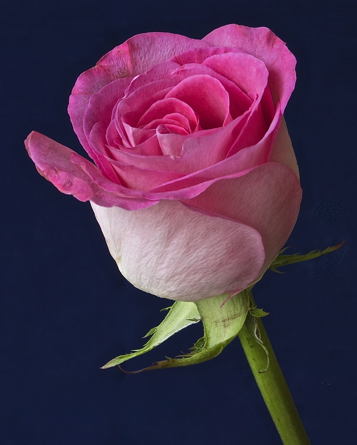 The 25+ best Rose hd photo ideas on Pinterest | Pretty flowers ...