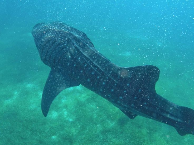 Whale shark watching in Oslob, Cebu (Philippines) What an amazing experience!