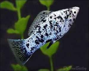 Dalmatian Mollie Fish