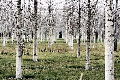 birch rows