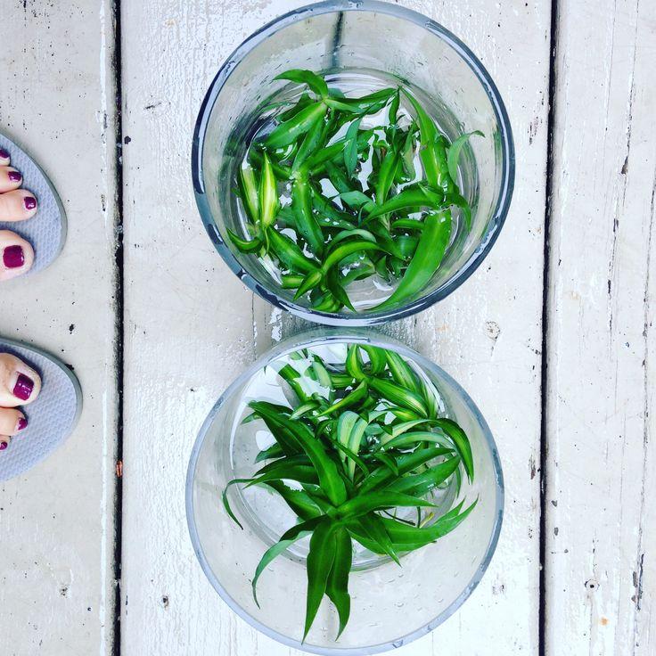 Propagation 💚🌿☀️ #airpurifier #propagation #spiderplants #shoplocal #shopsmallbusiness #natural #twigflowers #natureisbeautiful #toronto #ontariogrown #Canada