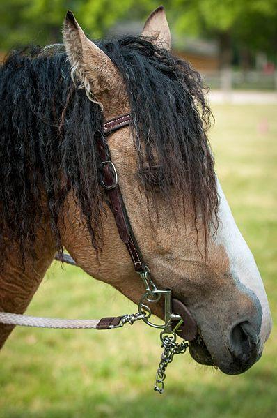 The Bashkir Curly horse, nice buckskin color too.