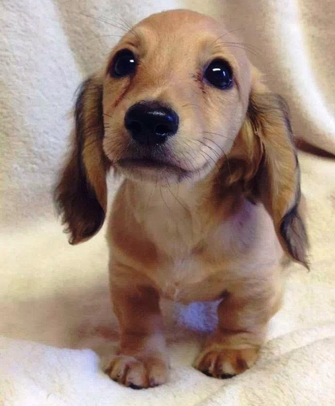 Itty bitty floppy earred dachshund puppy!! So adorable!: Cute Puppies, Animals, Dogs, Dachshund, Pet, Doxie, Puppys, Box, Eye