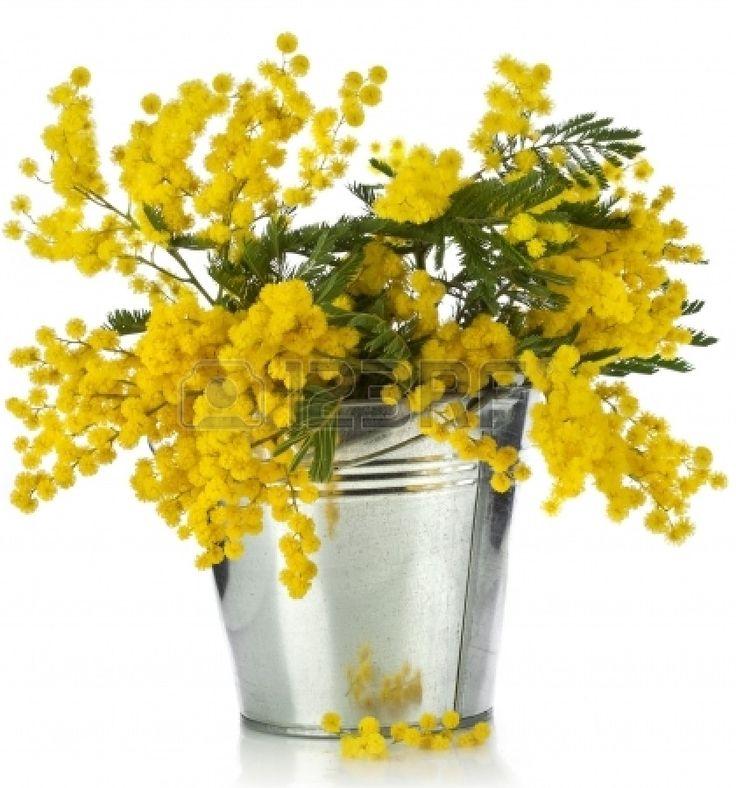 bouquet de mimosa fleurs d'acacia dans un seau de zinc, isolé sur fond blanc Banque d'images - 18932170