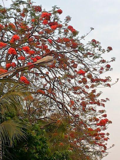 Delonix Regia Gulmohar Local Name Krishnachura Flower It Blooms During Summer In West Bengal India Courtesy Sikha Datta Pinterest Inn