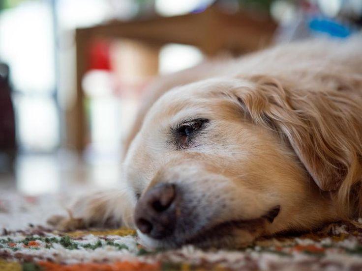 #Atemnot und Husten sind Anzeichen für Herzprobleme beim Hund - Frankfurter Neue Presse: Frankfurter Neue Presse Atemnot und Husten sind…