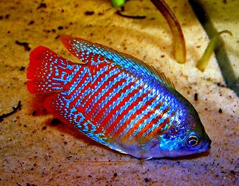 Freshwater gourami, these are cool little fish I've got two.