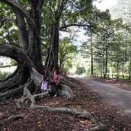 The most photographed trees on Norfolk Island!